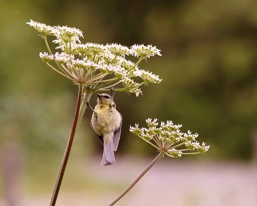 Yarrow-Bird